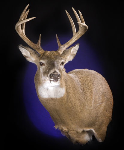 ... mountain whitetail deer shoulder mount rocky mountain whitetail deer Mule Deer European Mount