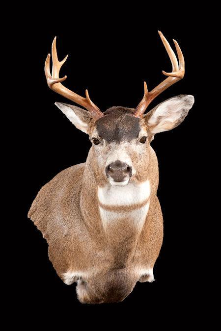 Sitka Blacktail Deer Wall Pedestal