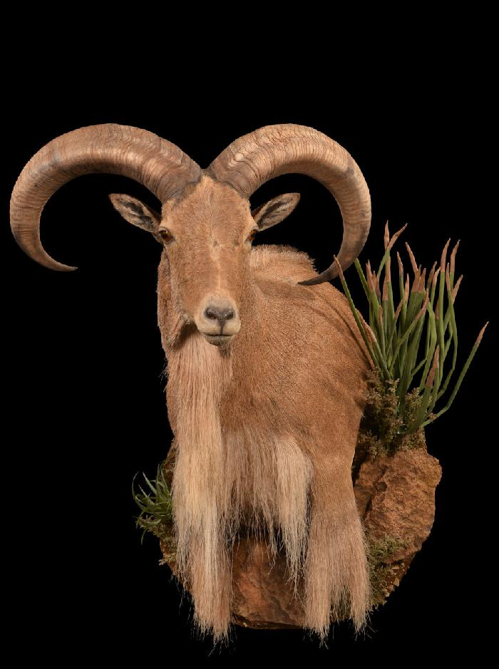 Aoudad Wall Pedestal With Habitat